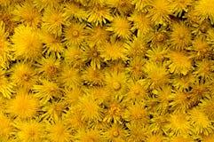 Fleurs de pissenlit pour le fond. Photos libres de droits