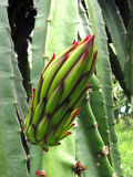 Fleurs de Pitaya photo libre de droits