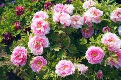 Fleurs de pivoine Photos libres de droits