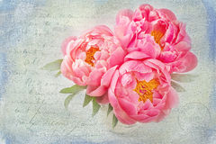 Fleurs de pivoine Photo stock