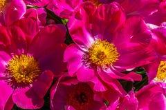 Fleurs de pivoine Image libre de droits