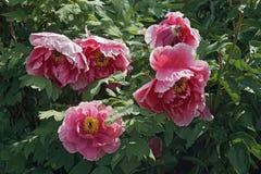Fleurs de pivoine d'arbre Image libre de droits