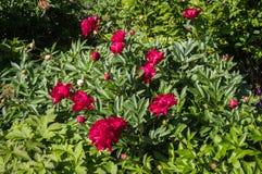 Fleurs de pivoine dans un jardin Photos stock