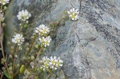 Fleurs de plage contre la fin de pierre  Photo libre de droits