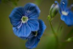 Fleurs de plan rapproché de myosotis Photos stock
