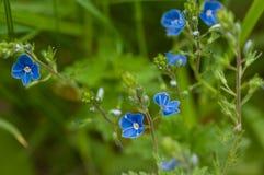 Fleurs de plan rapproché de myosotis Photos libres de droits