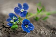 Fleurs de plan rapproché de myosotis Image stock