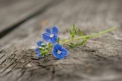 Fleurs de plan rapproché de myosotis Photographie stock