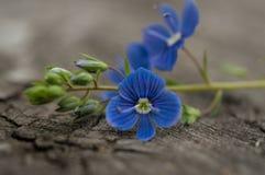Fleurs de plan rapproché de myosotis Image libre de droits