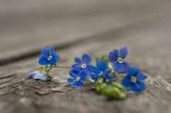 Fleurs de plan rapproché de myosotis Photographie stock libre de droits