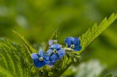 Fleurs de plan rapproché de myosotis Images stock