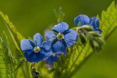 Fleurs de plan rapproché de myosotis Images libres de droits