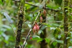 Fleurs de plan rapproché de roseus de Goniothalamus au Mt Ressortissant de Kinabalu photo stock
