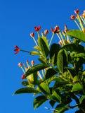 Fleurs de plante grimpante de Rangoon Photographie stock libre de droits