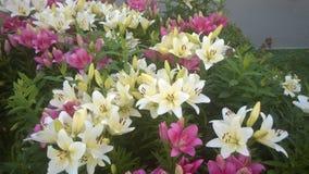 Fleurs de plantes fleurissantes, de lis, de fleur, de plante, blanches et rouges, bourgeons, beauté de nature, véritable bourgeon Image stock