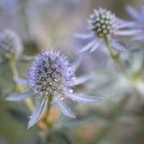 Fleurs de planum d'Eryngium Photos stock