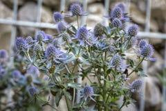 Fleurs de planum d'Eryngium Photographie stock