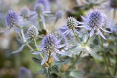 Fleurs de planum d'Eryngium Images libres de droits
