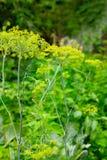 Fleurs de pluie verte d'arter d'aneth Photographie stock