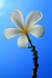 Fleurs de Plumeria. Photos stock