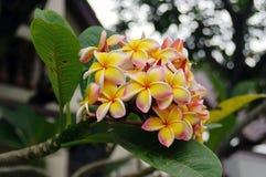 Fleurs de Plumeria Photographie stock libre de droits