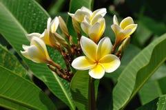 Fleurs de Plumeria Photos libres de droits