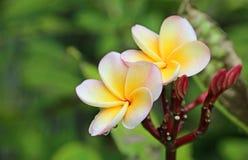 Fleurs de Plumeria Photographie stock