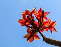 Fleurs de Plumeria Photos stock