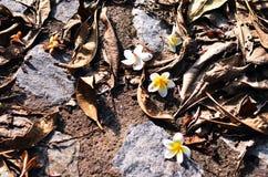 Fleurs de Plumeria image libre de droits