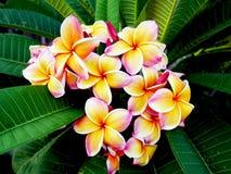 Fleurs de Plumeria Images stock