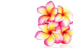 Fleurs de Plumeria d'isolement Image libre de droits