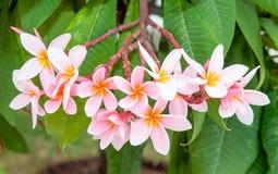 Fleurs de plumeria de rose de Panicle Photographie stock