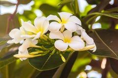 Fleurs de Plumeria et feuilles de floraison de vert dans le jardin E Photos libres de droits