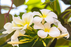 Fleurs de Plumeria et feuilles de floraison de vert dans le jardin E Photo libre de droits
