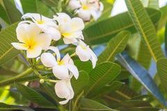 Fleurs de Plumeria et feuilles de floraison de vert dans le jardin E Images libres de droits