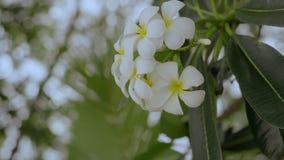 Fleurs de Plumeria Fleur tropicale sur le fond vert concept de course clips vidéos