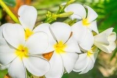 Fleurs de plumeria - le macro au vert pousse des feuilles fond Photos libres de droits