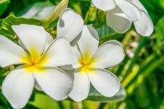 Fleurs de plumeria - le macro au vert pousse des feuilles fond Image stock