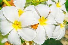 Fleurs de plumeria - le macro au vert pousse des feuilles fond Photographie stock
