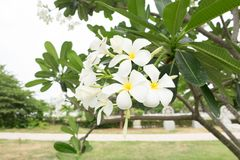 Fleurs de Plumeria sur l'arbre de Plumeria Photo libre de droits