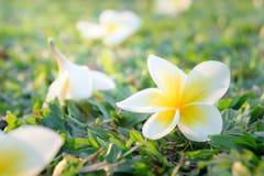 Fleurs de Plumeria sur l'herbe Photos stock