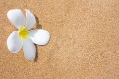 Fleurs de Plumeria sur la plage Photos libres de droits