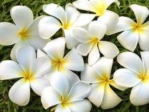Fleurs de Plumeria sur le fond de vert d'herbe, Leelavadee Images stock
