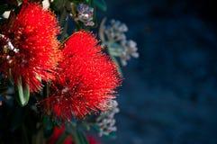 Fleurs de Pohutakawa Photographie stock