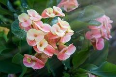 Fleurs de POI Si-ngan photo libre de droits