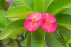 Fleurs de POI Si-ngan Photos stock