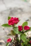 Fleurs de POI Si-ngan Images stock