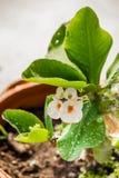 Fleurs de POI Si-ngan Photo stock