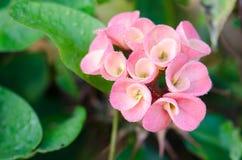 Fleurs de POI Si-ngan Image libre de droits