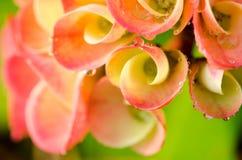 Fleurs de POI Si-ngan Image stock